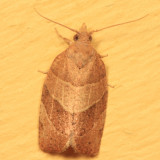 3594 - Three-lined Leafroller - Pandemis limitata