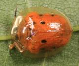 Golden Tortoise Beetle - Charidotella sexpunctata