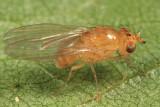 Camproprosopella sp.
