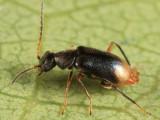 Hypebaeus oblitus (male)