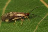 Spongillaflies - Sisyridae