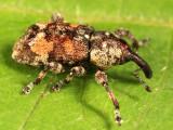 Weevils - Subfamily Molytinae