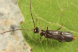 Malthodes fuliginosus