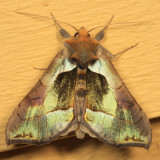8897 - Green-patched Looper - Diachrysia balluca