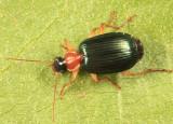 Lebia tricolor