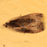 2800 - Olethreutes nigranum
