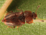 Epuraea truncatella