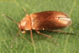 Anaspis rufa