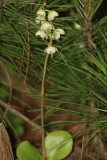 Shinleaf - Pyrola sp.