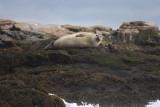 Common Seal (Harbor Seal) - Phoca vitulina