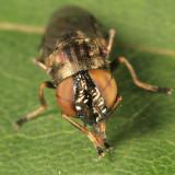 Orthonevra pictipennis  species group (female)