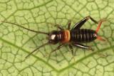 Fall Field Cricket - Gryllus pennsylvanicus (younf nymph)
