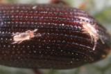 Rhodacaroidea - Digamasellidae