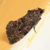3495 - Dotted Ecdytolopha Moth - Ecdytolopha punctidiscana