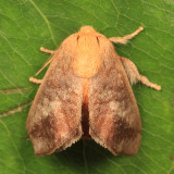 4681 - Crowned Slug - Isa textula