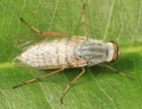 Pandivirilia sp.