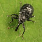 Anthonomus corvulus