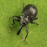Weevils - Subfamily Curculioninae