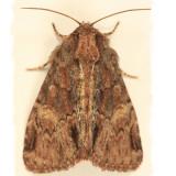 9618 - Phosphila turbulenta