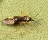 Plagiognathus alboradialis