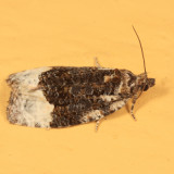 2755 -  Funereal Apotomis Moth - Apotomis funerea