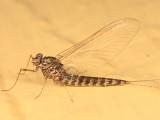 Siphlonurus securifer (female)