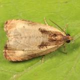 2786 - Olethreutes punctanum