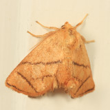 4667 - Inverted Y Slug Moth - Apoda y-inversum
