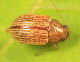 Grape Colaspis - Colaspis brunnea