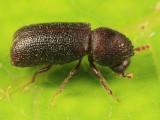 Horned Powder-post Beetles - Bostrichidae