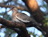 White-winged Dove - Zenaida asiatica (immature)