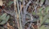 Clark's Spiny Lizard - Sceloporus clarki