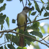 Brown-crested Flycatcher - Myiarchus tyrannulus