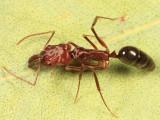 Ants subfamily Ponerinae