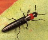 Lizard Beetles - Languriidae