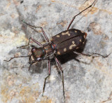 Western Red-bellied Tiger Beetle - Cicindela sedecimpunctata