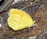 Mexican Yellow - Eurema mexicana