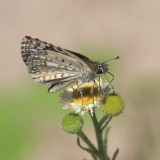 Desert Checkered-Skipper - Pyrgus philetas
