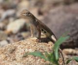 Earless Lizard - Holbrookia sp.