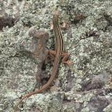 Gila Spotted Whiptail - Aspidoscelis flagellicauda