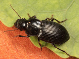 Notiobia mexicana