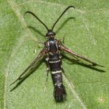 2545 – Osminia ruficornis