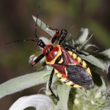 Yellow-bellied Bee Assassin - Apiomerus flaviventris