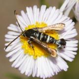 2545 - Osminia ruficornis