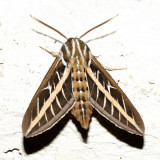 7894 - White-lined Sphinx - Hyles lineata