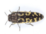 Acmaeodera solitaria