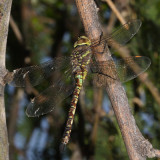 Blue-eyed Darner - Rhionaeschna multicolor (female)