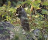 Rock Squirrel - Spermophilus variegatus