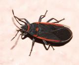 Melacoryphus lateralis