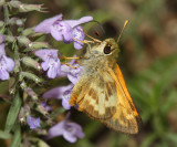 Taxiles Skipper - Poanes taxiles (male)